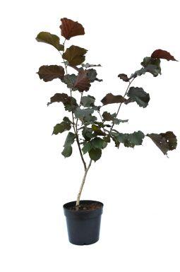 Лещина обыкновенная Пурпуреа (Purpureum)