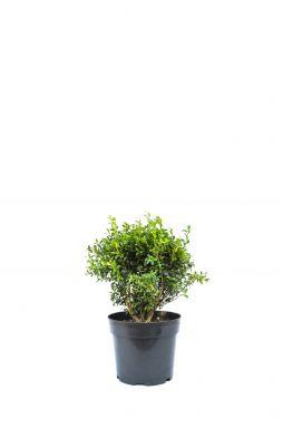 Самшит Вечнозеленый (Evergreen)