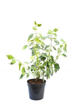 Дерен белый Элегантиссима (Elegantissima)