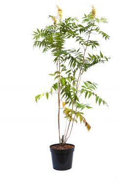 Рябинник Рябинолистный (Sorbifolia)