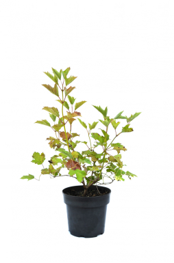 Калина обыкновенная Розеум (Roseum)