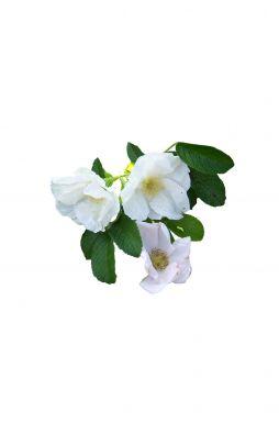 Роза морщинистая Альба (Alba)
