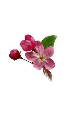Яблоня Ола (Ola)
