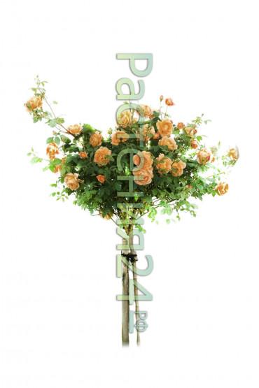 Роза штамбовая