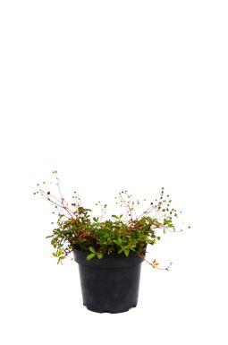 Лапчатка травяная Нуук (Nuuk)