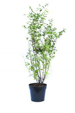 Снежноягодник хенаульта Вайт Хедж (White Hedge)