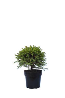 Ель обыкновенная Пигмея (Pygmaea)