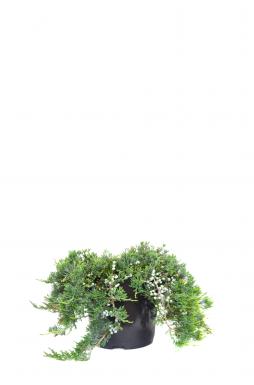 Можжевельник горизонтальный Вилтони (Wiltonii)