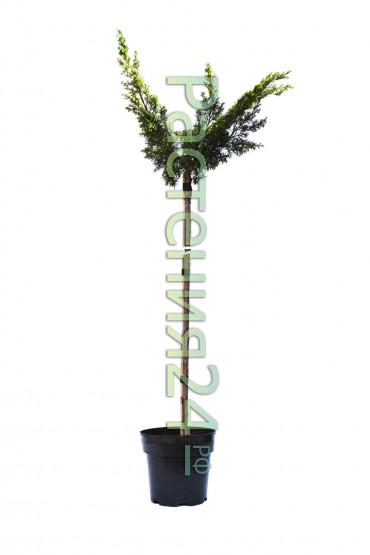 Можжевельник китайский Плюмоза Ауреа (Plumosa aurea pa)
