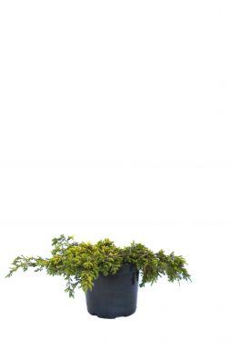 Можжевельник обыкновенный Голдшатц (Goldschatz)