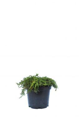 Можжевельник обыкновенный Грин Карпет (Green carpet)
