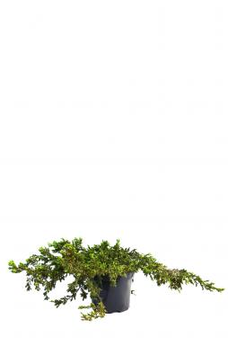 Можжевельник обыкновенный Репанда (Repanda)