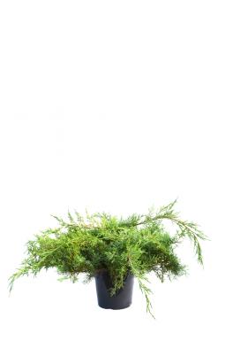 Можжевельник средний Пфитцериана Ауреа (Pfitzeriana aurea)