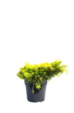 Можжевельник средний Йеллоу Сапфир (Yellow sapphire)