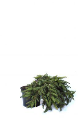 Ель обыкновенная Прокумбенс (Procumbens)