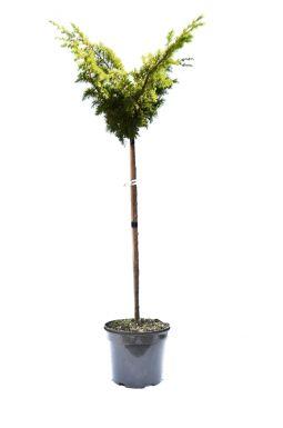 Можжевельник китайский Плюмоза Ауреа Вариегата (Plumosa aureovarigata pa)