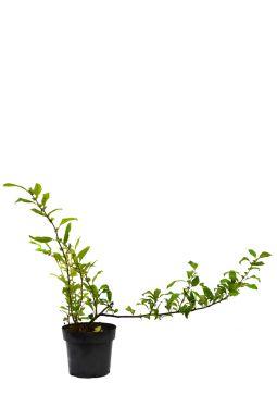 Айва японская Нивалис (Nivalis)