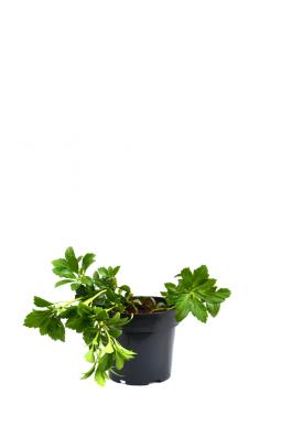 Пахизандра верхушечная Грин Карпет (Green Carpet)