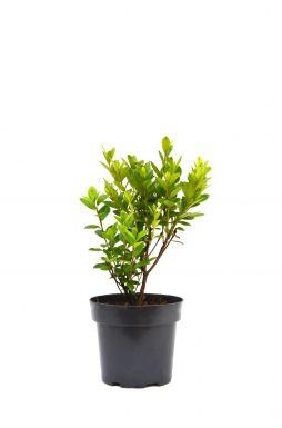 Азалия японская Пурпуртраум (Purpurtraum)