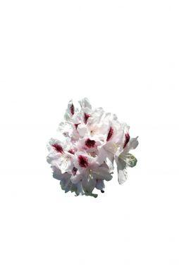 Рододендрон Калсап (Calsar)