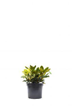 Рододендрон Полярис (Polaris)