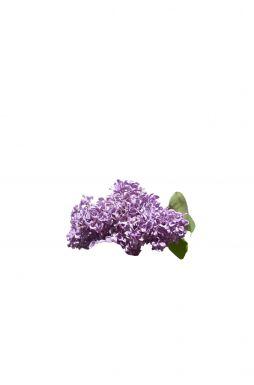 Сирень обыкновенная Аукубафолия (Aucubaefolia)