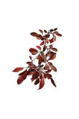 Яблоня Кокцинелла (Coccinella)
