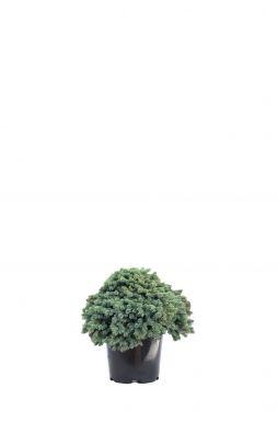 Ель обыкновенная Вальдбрун (Waldbrund)