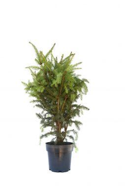 Ель обыкновенная Купрессина (Cupressina)