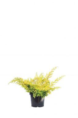 Можжевельник китайский Голд Ферн (Gold Fern)