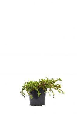 Можжевельник обыкновенный Гринмантл (Greenmantle)