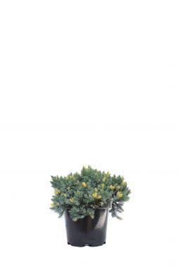 Можжевельник чешуйчатый Флореант (Floreant)