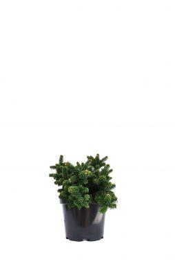 Пихта бальзамическая Пикколо (Piccolo)