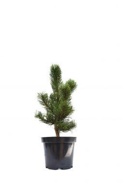 Сосна черная Орегон Грин (Oregon Green)