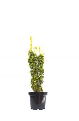 Тис ягодный Фастигиата Ауреа (Fastigiata Aurea)