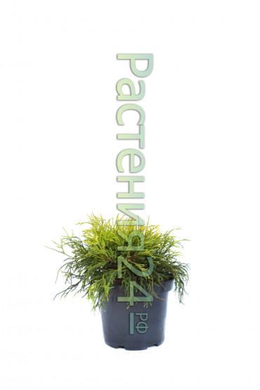 Кипарисовик горохоплодный Филифера Ауреа (Filifera aurea)