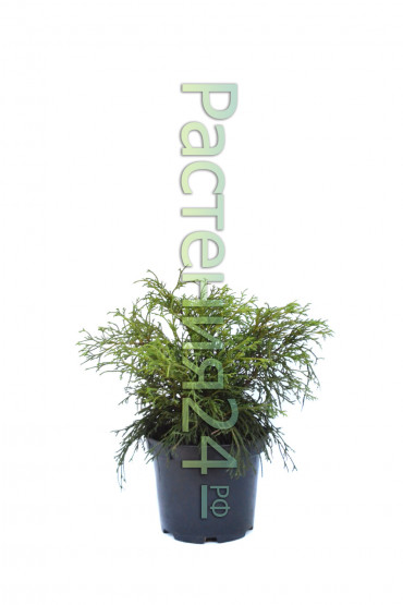 Кипарисовик горохоплодный Филифера Нана (Filifera nana)
