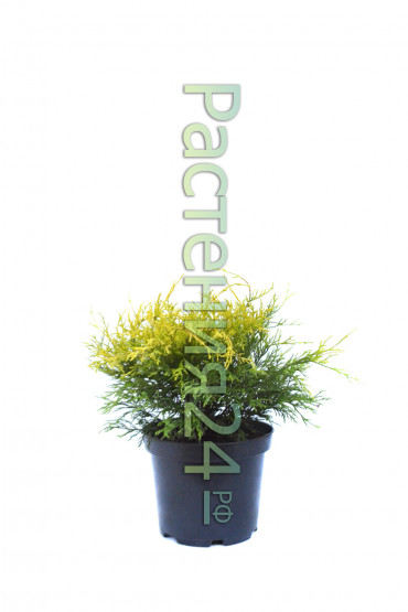 Кипарисовик горохоплодный Санголд (Sungold)