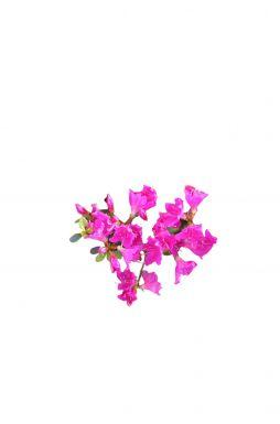 Азалия японская Пурпертраум (Purpurtraum)