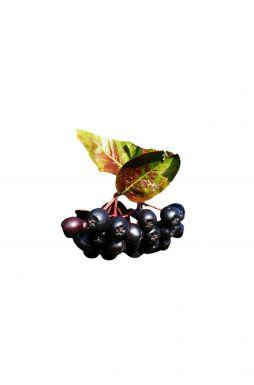 Арония крупноплодная черноплодная PA