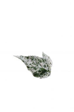 Бузина черная Пулверулента (Pulverulenta)