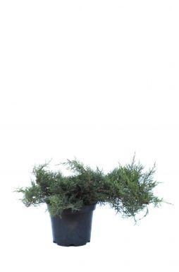 Можжевельник виргинский Грей Оул (Grey owl)