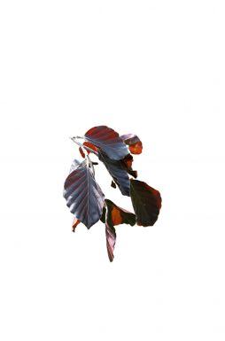 Бук лесной Пендула (Purpurea Pendula)