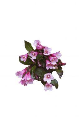 Вейгела цветущая Фолис Пурпуреус (Foliis Purpureis)