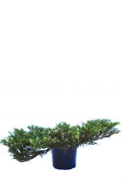Можжевельник горизонтальный Андорра Вариегата (Andorra variegata)
