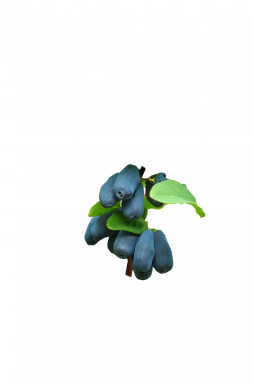Жимолость камчатская Синичка (Sinichka)