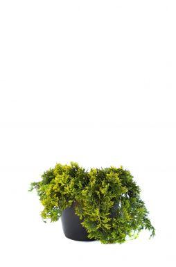 Можжевельник горизонтальный Голден Карпет (Golden carpet)