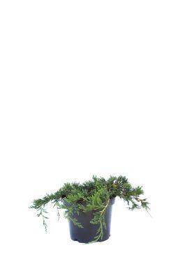 Можжевельник горизонтальный Глаука (Glauca)