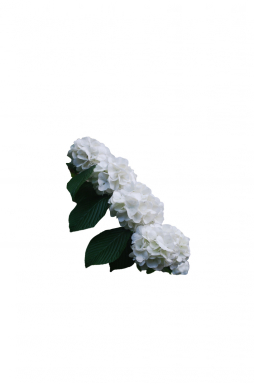 Калина складчатая Грандифлорум (Grandiflorum)