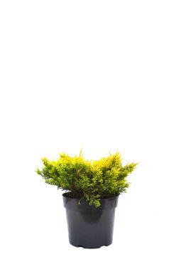 Можжевельник горизонтальный Лайм Глоу (Lime glow)